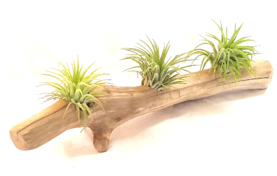 Driftwood Display With Ionantha Air Plants