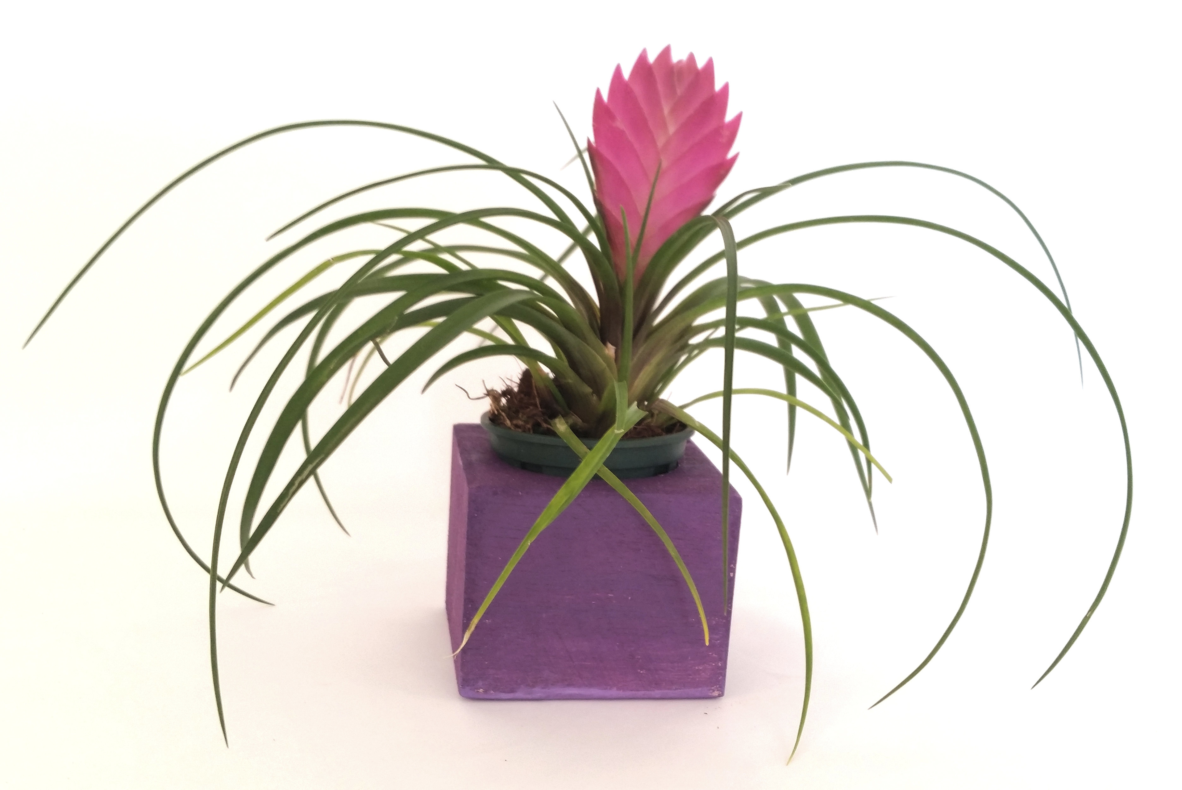 Pink Quill Tillandsia Cyanea In Wooden Planter